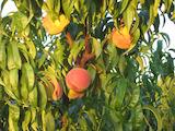 Fruit-bearing orchard