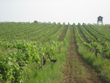 100 decares of vineyards, winery and inventory in the village Vinarovo