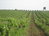 100 дка лозя, винарска изба и инвентар в село Винарово