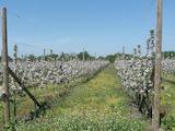 Разработен бизнес- ябълкова градина